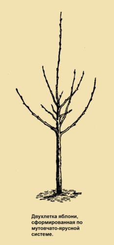 Двухлетка яблони, сформированная по мутовчато-ярусной системе.