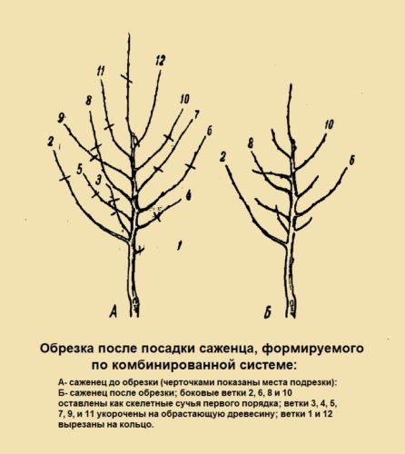 Обрезка после посадки саженца, формируемого по комбинированной системе