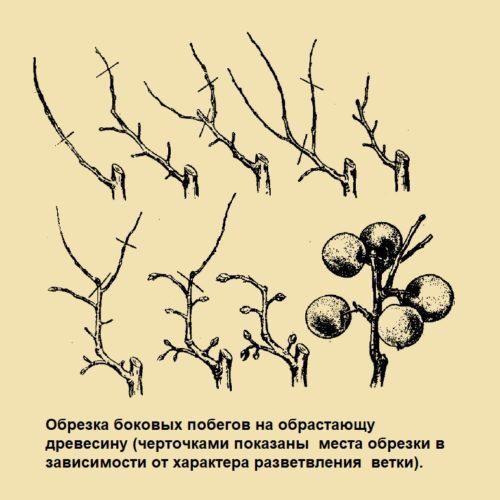 Обрезка боковых побегов на обрастающу древесину