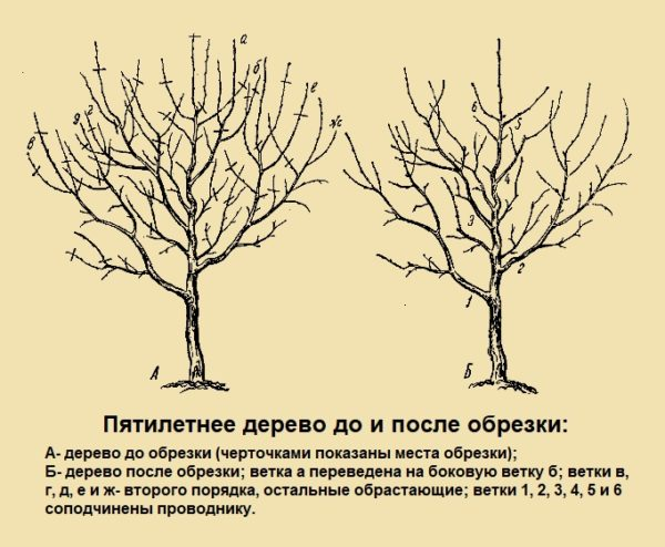 Пятилетнее дерево до и после обрезки