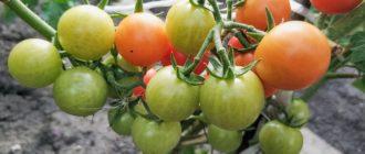 ухаживать за томатами