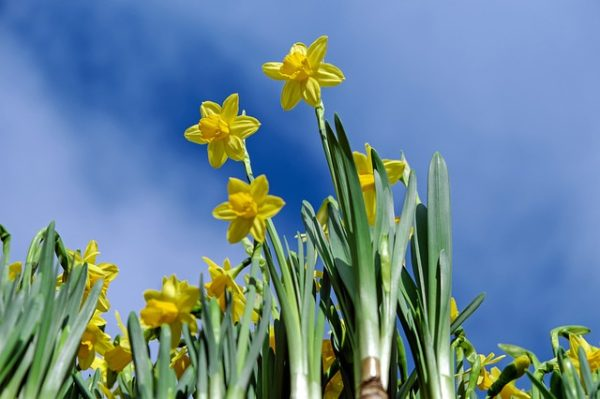 цветок Нарциссы