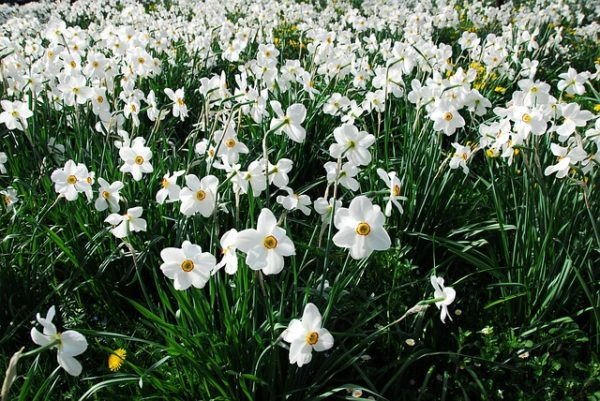Нарциссы цветок