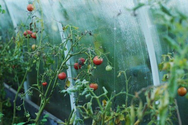 в теплице помидор