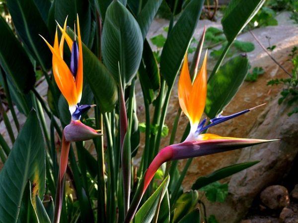 растения стрелиция