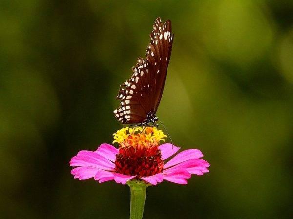 Гербера бабочка