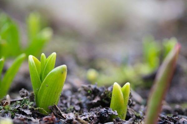 рассада тюльпаны