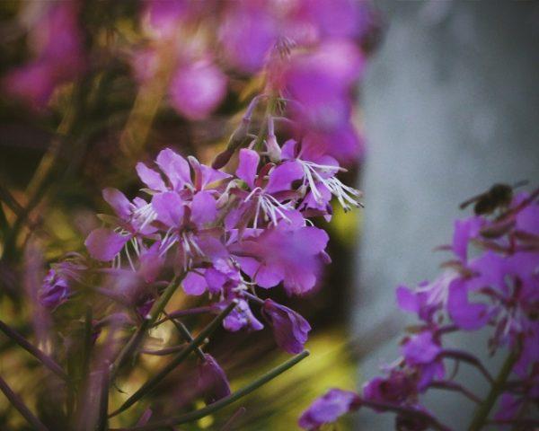 Иван-чай цветок