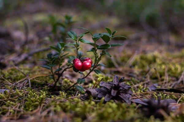 Клюква ягода