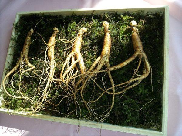 Женьшень корень
