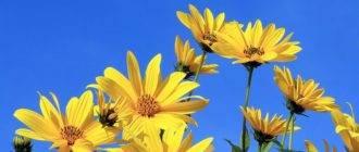 Топинамбур - выращивание