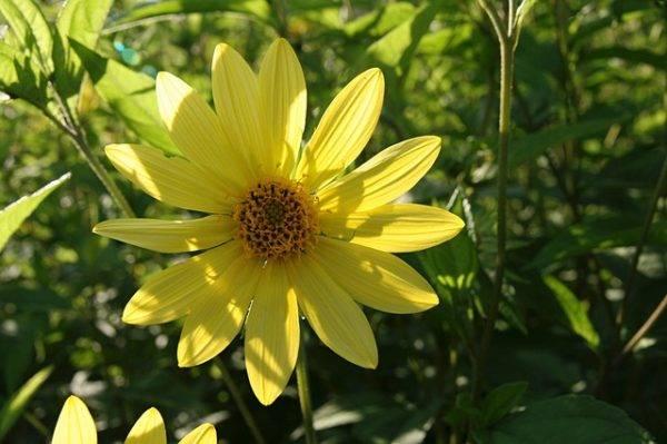 Топинамбур цветок