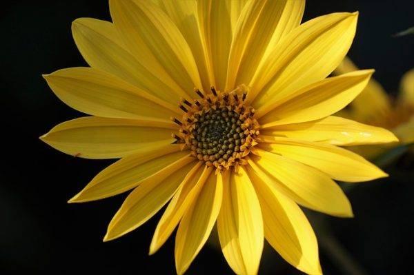 Топинамбур растение