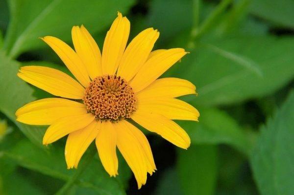 Топинамбур цветы