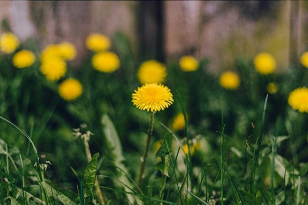 Одуванчик цветет