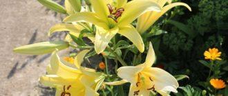 цветок лилия