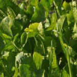 зеленый хрен