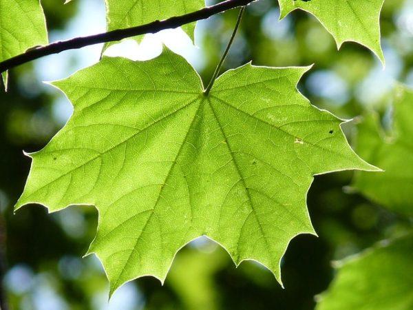 Клен зеленый лист