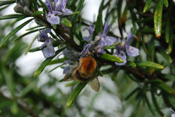 Розмарин и пчела