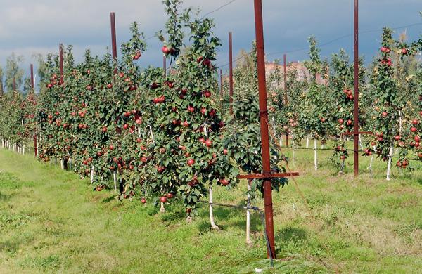 слаборослые яблони