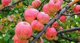 саженцы яблони экосад